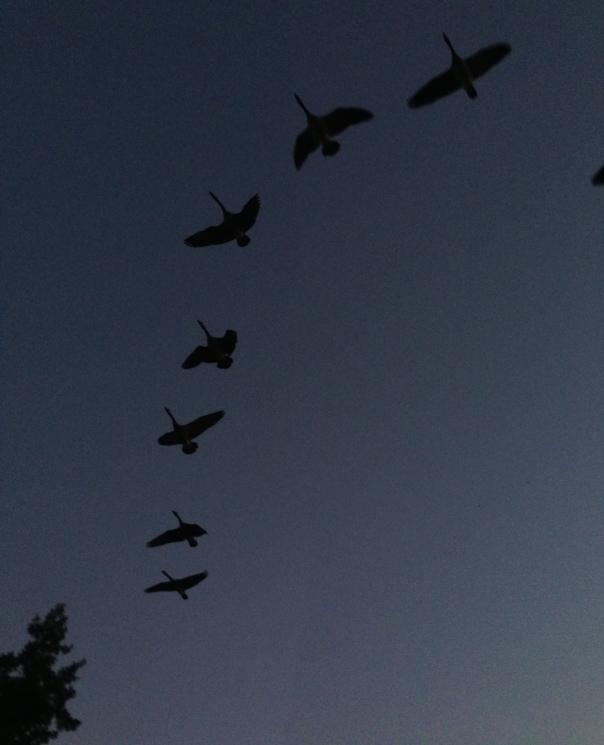 Geese at dusk over MacArthur Park.