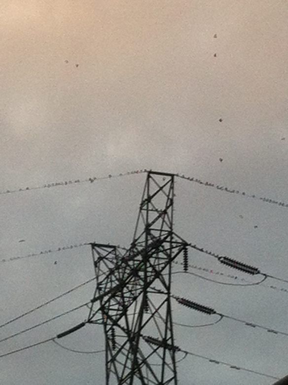 Birds alighting on transformer wires.