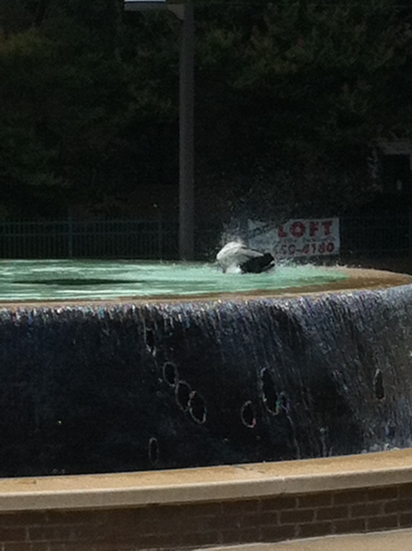 A duck enjoying the Carrie Remmel Dickinson Fountain at the Arkansas Arts Center.