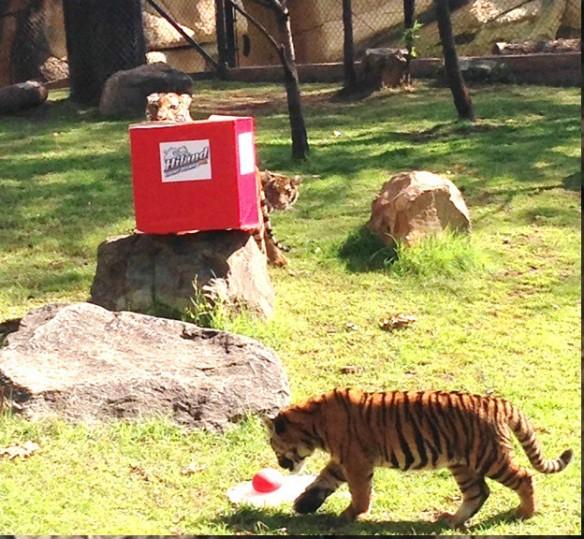 Hiland Tiger