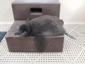 Fourth Penguin Chick